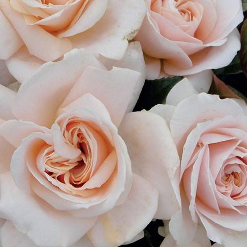 Rosa Orgullo y Prejuicio